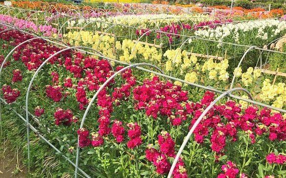 ちくら潮風王国の隣にある千田の花畑に作色とりどりの花(ストック)