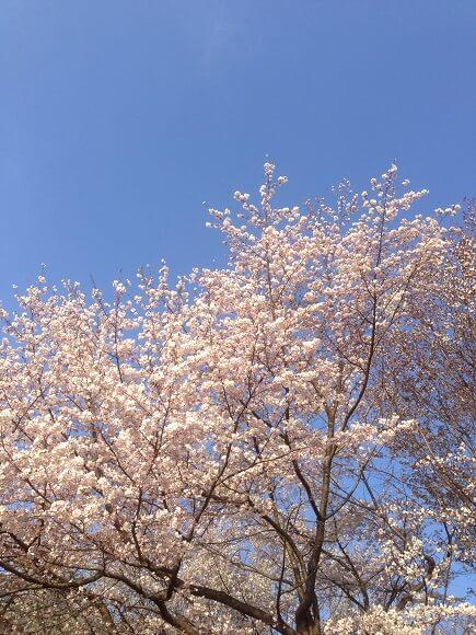 彩の森入間公園の見事に咲く桜