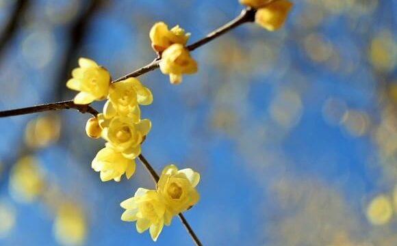 宝登山の山頂で甘い香りを放ち咲く蝋梅