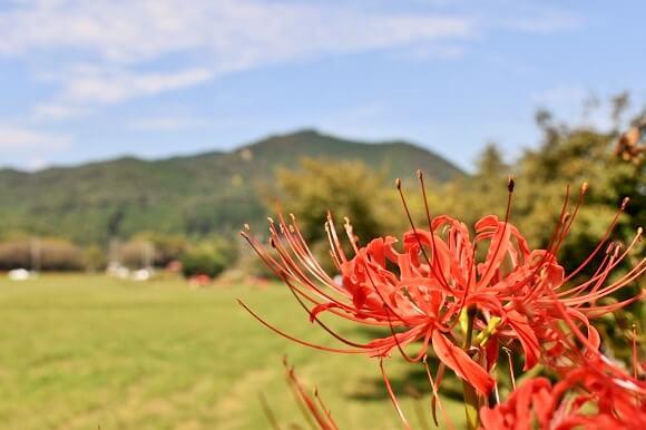 巾着田の曼珠沙華越しに見える日和田山
