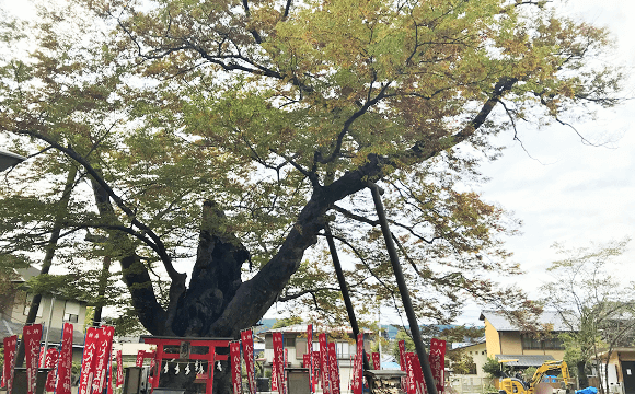 秩父今宮神社の立派な御神木