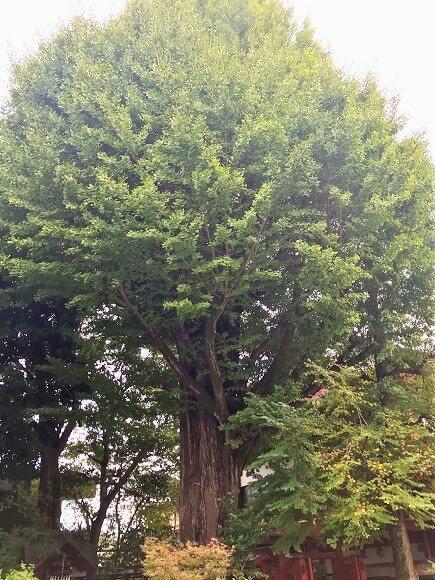 樹齢約400年の秩父神社の御神木(大銀杏)