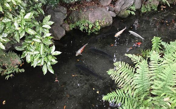 秩父今宮神社の龍神池で優雅に泳ぐ錦鯉