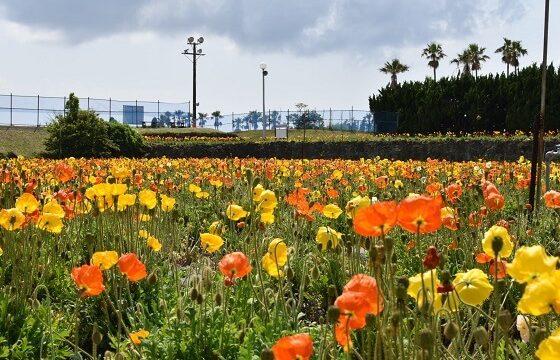 館山ファミリーパークの見事なポピー畑